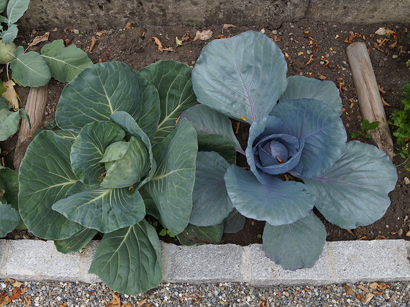 Ewiger Kohl Pflanze im 9cm Topf